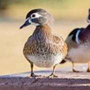 Pair Of Wood Ducks Poster