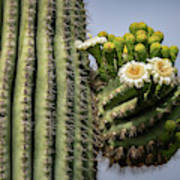 Saguaro Blooms To The Sky  Poster