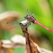 Small Beautiful Dragonfly Poster