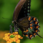 Spicebush Swallowtail On Lantana Blooms Poster