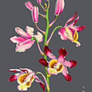 Orchid Old Print Poster