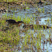 Green Heron Looking For Food Poster