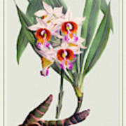 Orchid Vintage Print On Tinted Paperboard Poster
