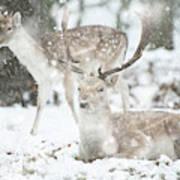 Beautiful Image Of Fallow Deer In Snow Winter Landscape In Heavy Poster