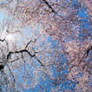 Low Angle View Of Cherry Blossom Trees Poster