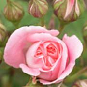 Pink Rose, International Rose Test Poster