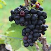 Purple Grape Bunches 17 Poster