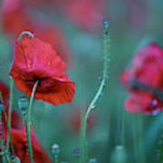 Red Corn Poppy Flowers Poster