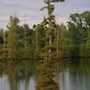 Tennesse Cypress In Wetland  Poster