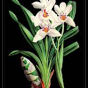Vintage Orchid Print On Black Paperboard Poster