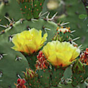 Yellow Prickly Pear Flowers Poster