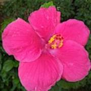Bright Pink Hibiscus Poster