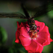 Dragonfly On A Flower Of A Red Rose. Macro Photo Poster