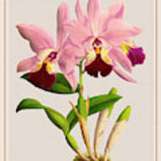 Orchid Vintage Print On Colored Paperboard Poster