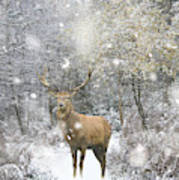 Beautiful Red Deer Stag In Snow Covered Festive Season Winter Fo Poster