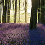 Stunning Bluebell Forest Landscape Image In Soft Sunlight In Spr Poster