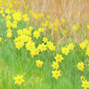 A Host Of Daffodils Poster