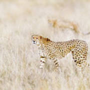 A Pair Of Cheetahs Move Steathily Through The Long Grass Of The  Poster