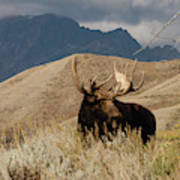 A Really Big Moose Poster