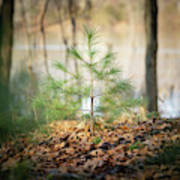 A Tiny Pine Poster