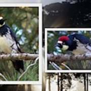 Acorn Woodpecker Poster