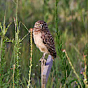 Adult Burrowing Owl Poster