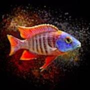 African Peacock Cichlid III Portrait  Poster