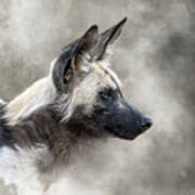 African Wild Dog In The Dust Poster