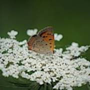 American Copper On Queen Anne's Lace Poster