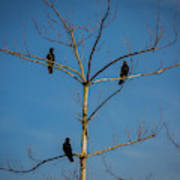 American Crows In Bare Tree Poster