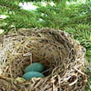 American Robin Nest Poster