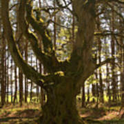 ancient tree in forest near Greenlawin Scottish Borders Poster