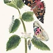 Antique Watercolor Illustration Of Nettle Butterfly In Various Life Stages Published In 1824 By M.p. Poster