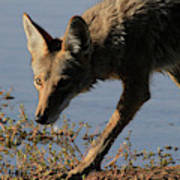 Arizona Coyote  Poster