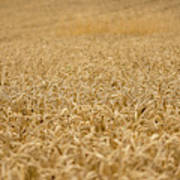 A Field Of Wheat Poster