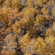 Aspen Autumn Leaves Poster