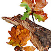 Autumn Oak Leaves And Acorns On White Poster