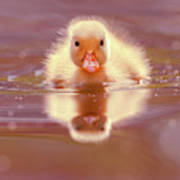 Baby Animal Series - Baby Duckling Poster