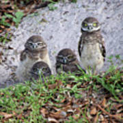 Baby Burrowing Owls Posing Poster