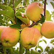 Backyard Garden Series - Apples In Apple Tree Poster