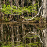 Bald Cypress Trees And Reflection, Six Poster