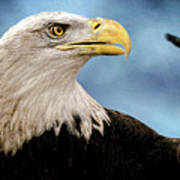 Bald Eagle And Fledgling  Poster