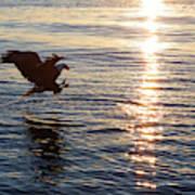 Bald Eagle At Sunset Poster