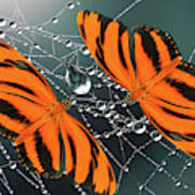 Banded Orange Butterfly. Poster