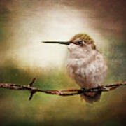 Barbed Wire Hummingbird Perch Poster