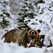 Bear In The Snow Poster