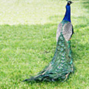 Beautiful Male Peacock On The Grass Poster