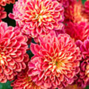 Beautiful Of Red Garden Dahlia Flower Poster