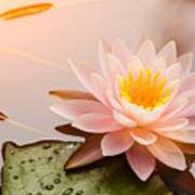 Beautiful  Waterlily Or Lotus Flower Poster