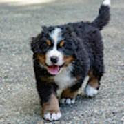 Bernese Mountain Dog Puppy 2 Poster
